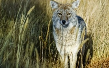 Animalia - Wolf Wallpapers and Backgrounds ID : 324044