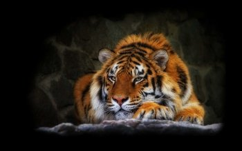 Animal - Tiger Wallpapers and Backgrounds ID : 324170