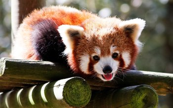 Animal - Red Panda Wallpapers and Backgrounds ID : 324841
