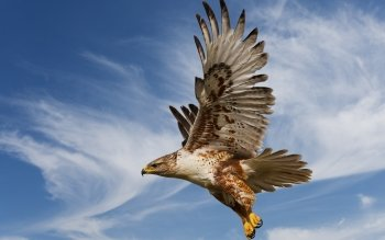 Animal - Eagle Wallpapers and Backgrounds ID : 324889