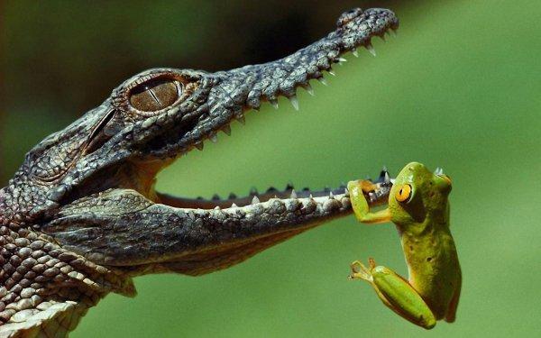 Animal Crocodile Reptiles Frog HD Wallpaper | Background Image