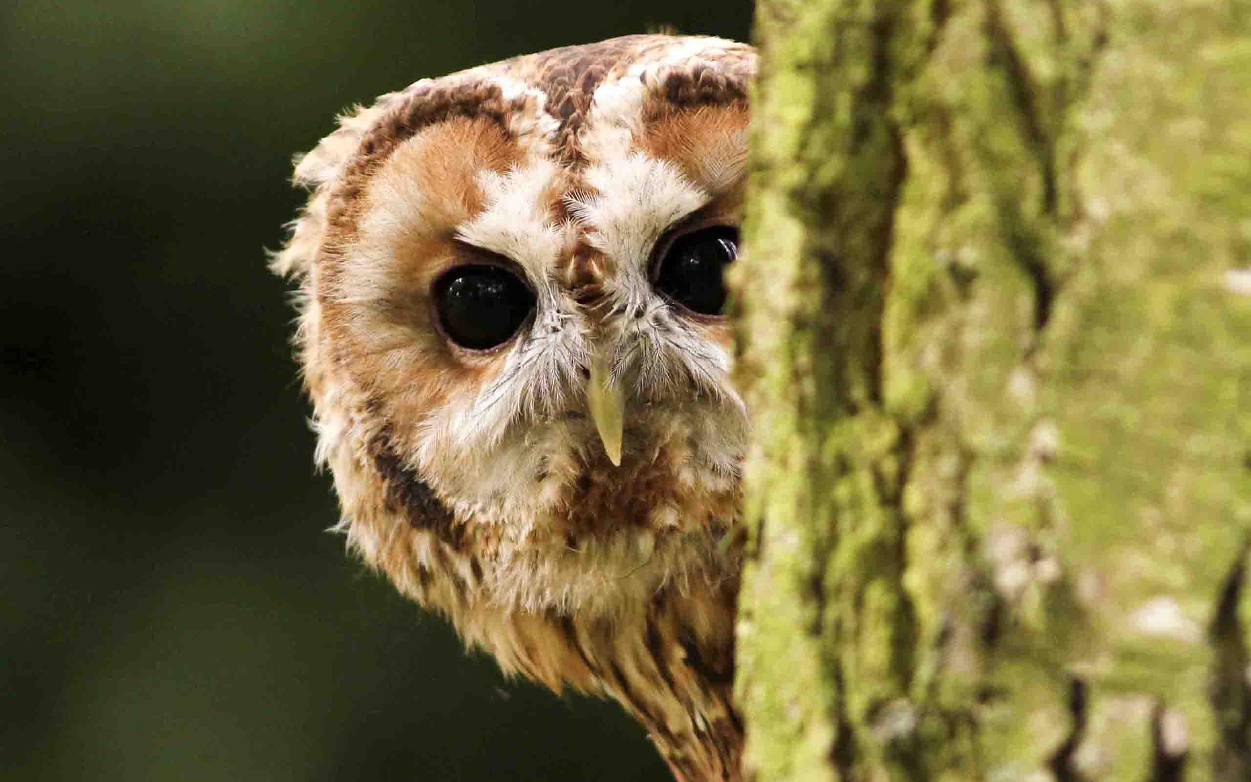 animal barred owl wallpaper