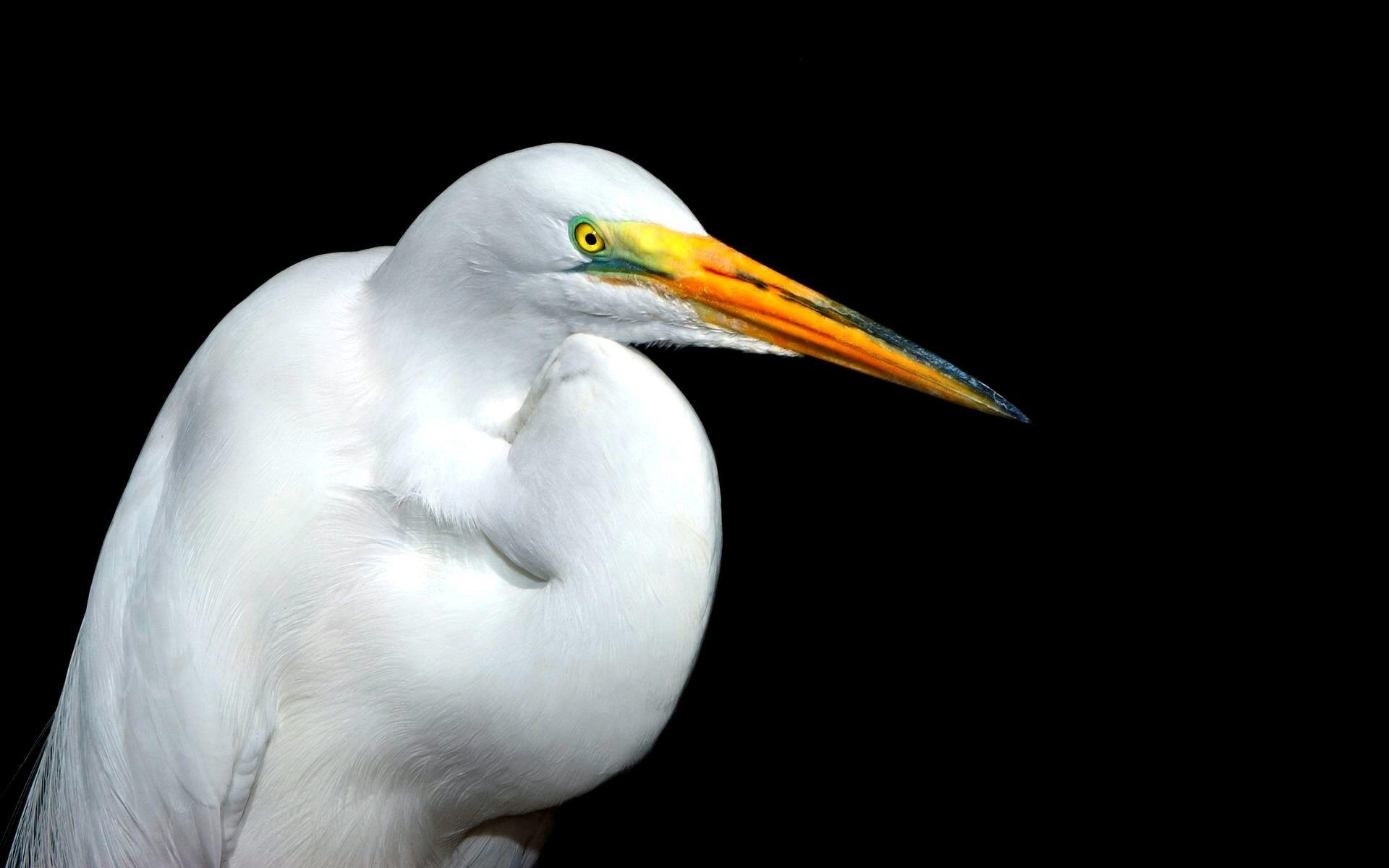 Animal - Egret  Bird White Wallpaper