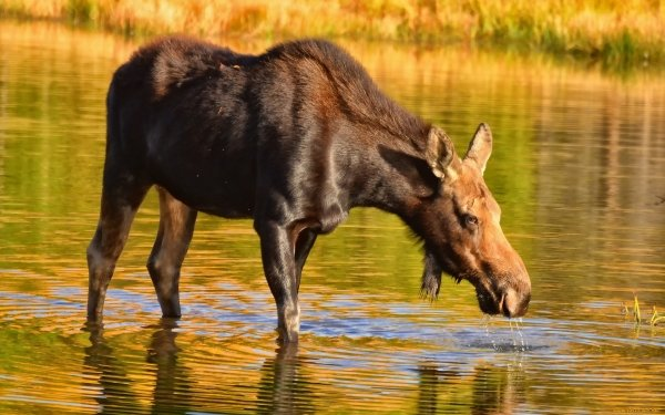 Animal Moose HD Wallpaper | Background Image