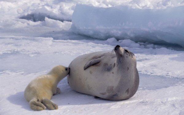 Animal Seal HD Wallpaper   Background Image