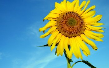 449 Girasole Hd Wallpaper Sfondo Wallpaper Abyss Pagina 7