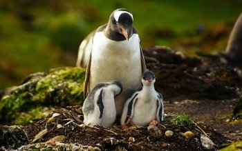 Animal - Penguin Wallpapers and Backgrounds ID : 326627