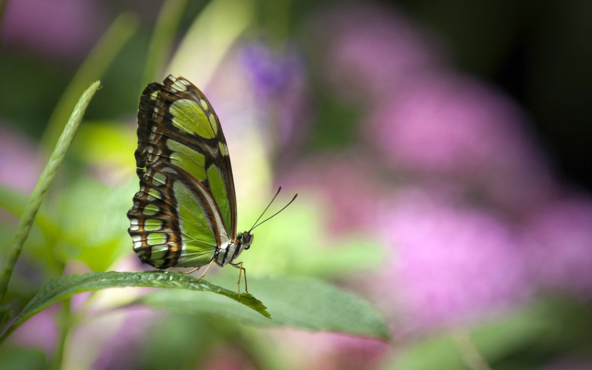 Animal - Butterfly  Green Insect Animal Bokeh Blur Wallpaper