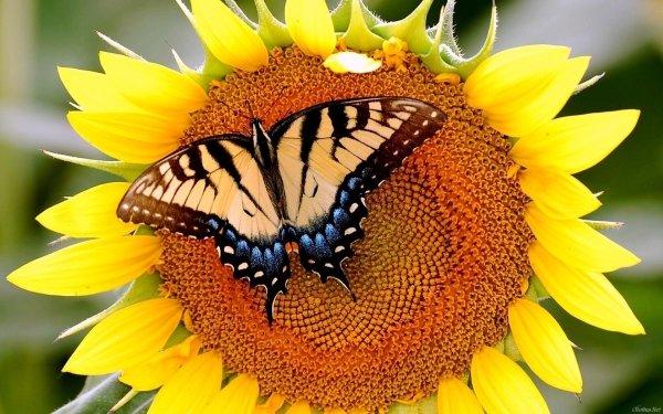 Animales Mariposa Flor Girasol Fondo de pantalla HD | Fondo de Escritorio