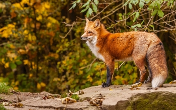 Animal - Fox Wallpapers and Backgrounds ID : 328940