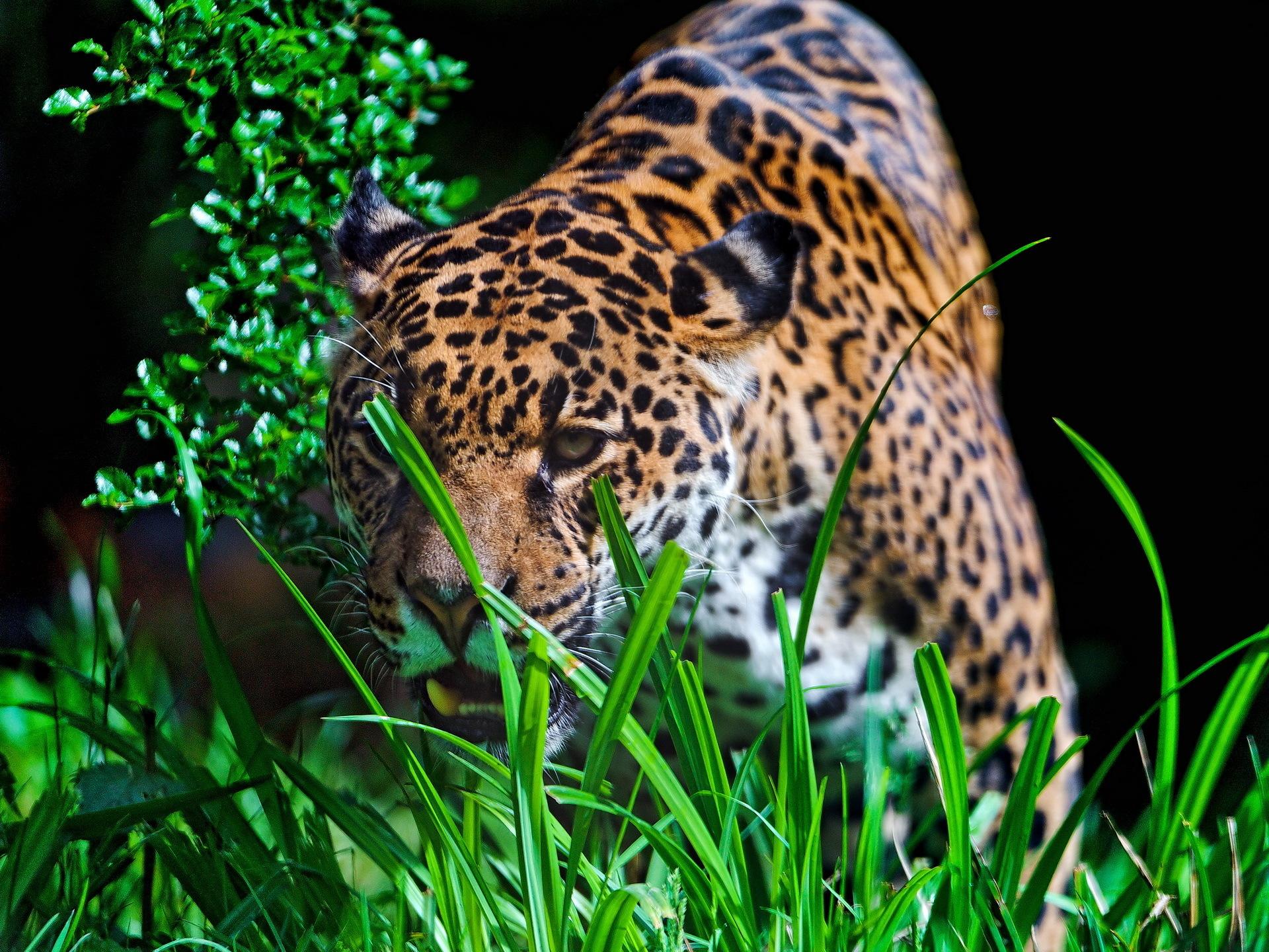 Animals Jaguars Wallpapers Hd Desktop And Mobile: Jaguar Full HD Wallpaper And Background