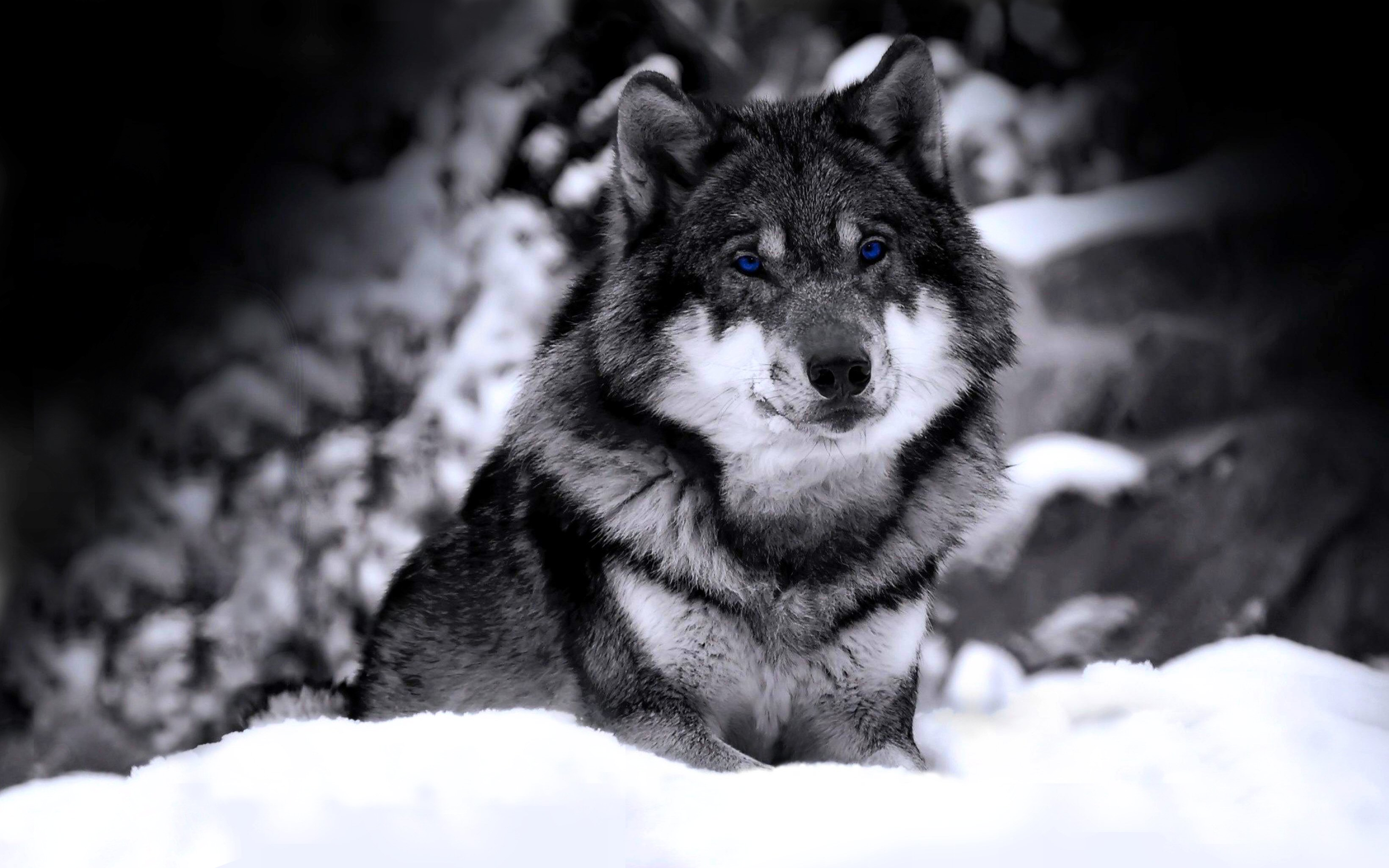 996 Wolf Hd Wallpapers Background Images Wallpaper Abyss