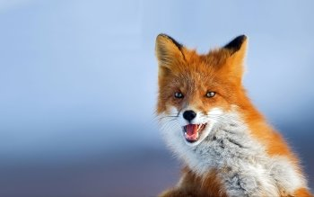 Animal - Fox Wallpapers and Backgrounds ID : 330906