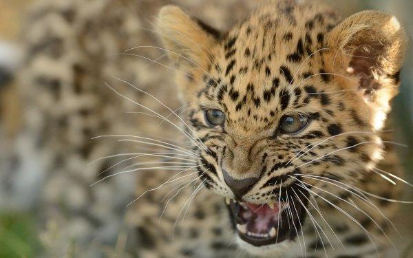 Animal Leopard Cats Cub Amur Leopard Muzzle HD Wallpaper | Background Image