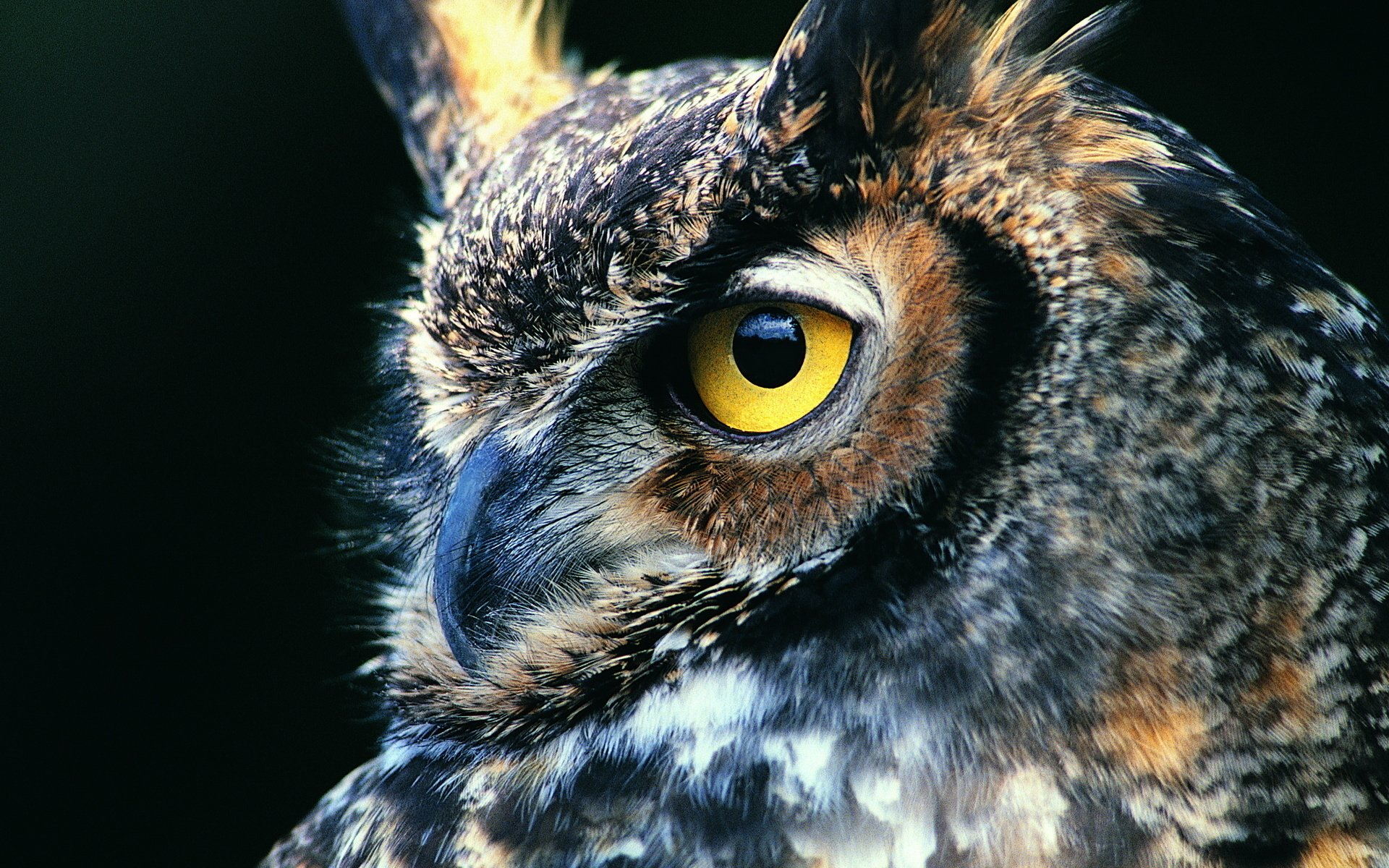 hd great horned owl - photo #19