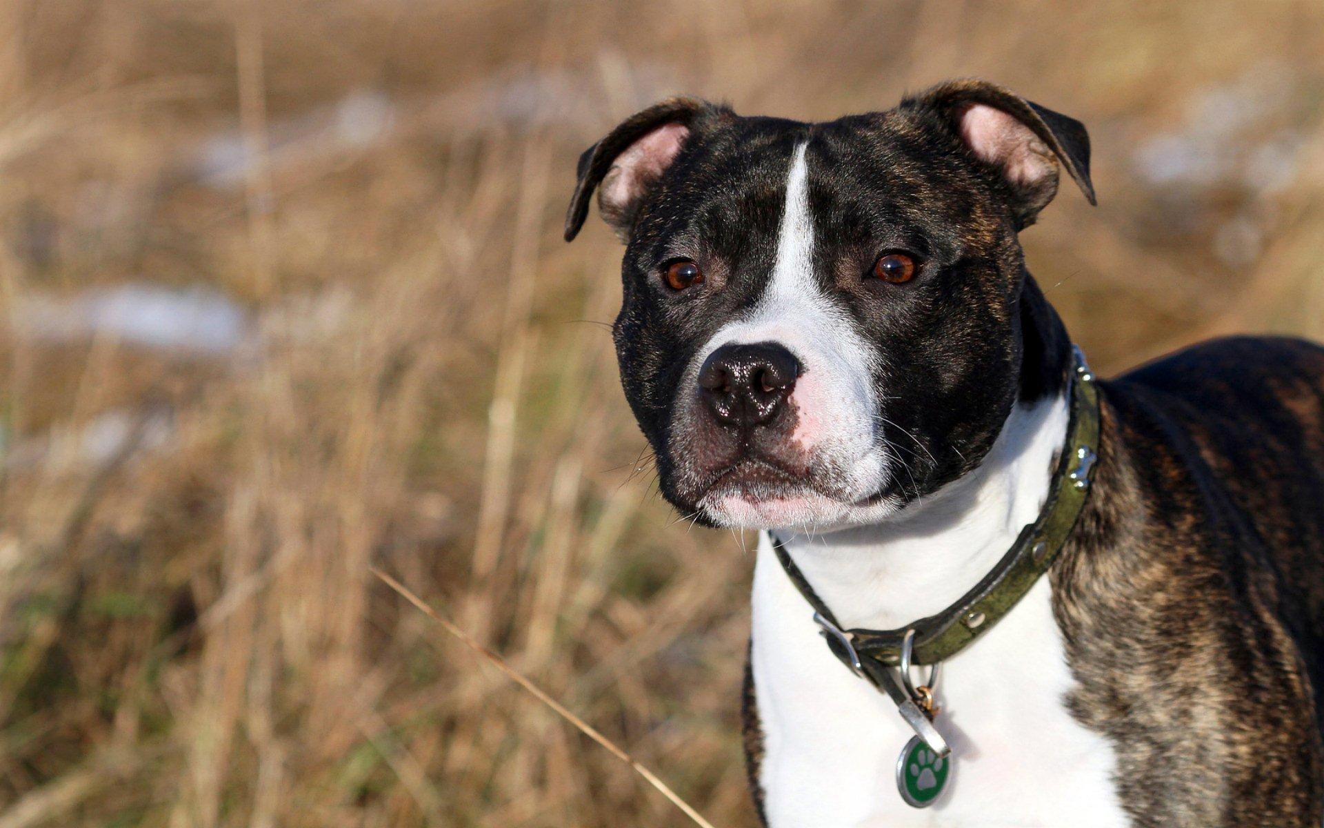 English Staffordshire Bull Terrier Full HD Fond d'écran ...