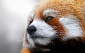 Animal - Red Panda Wallpapers and Backgrounds ID : 331309