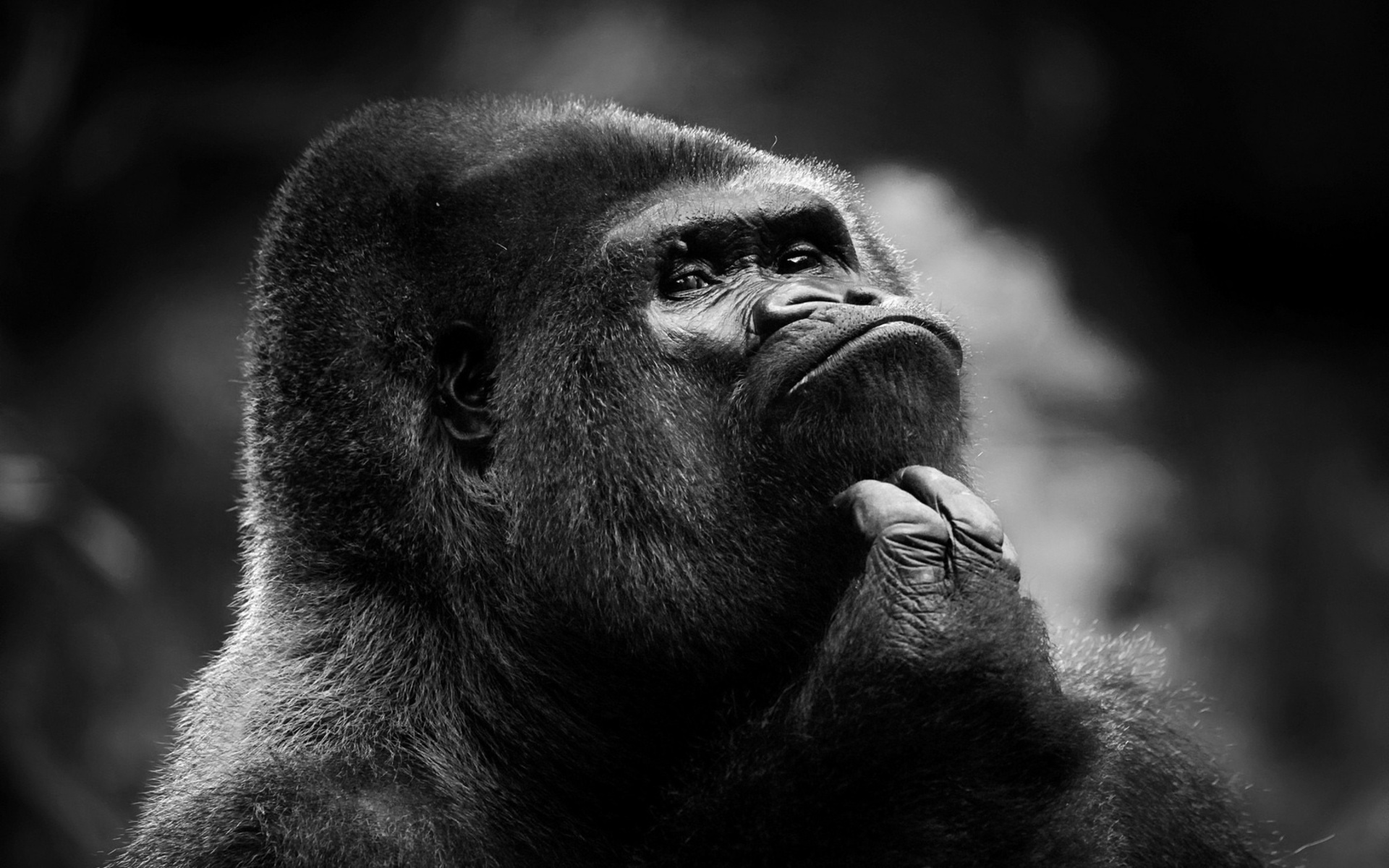 Gorilla wallpaper hd - photo#8