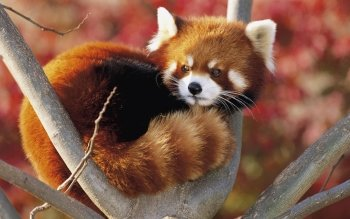 Animal - Red Panda Wallpapers and Backgrounds ID : 332463