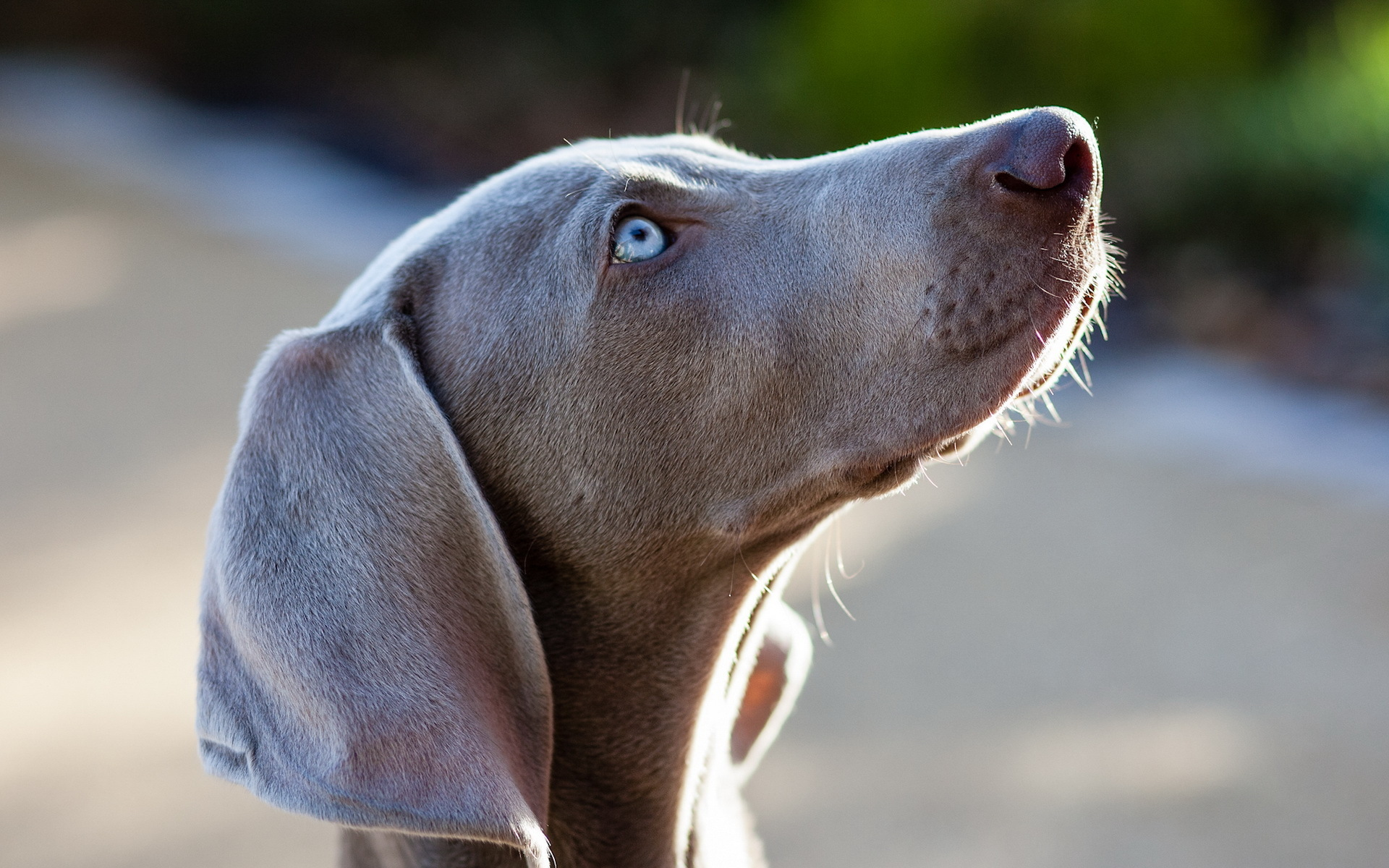 Weimaraner Computer Wallpapers, Desktop Backgrounds | 1920x1200 | ID ... Weimaraner For Sale