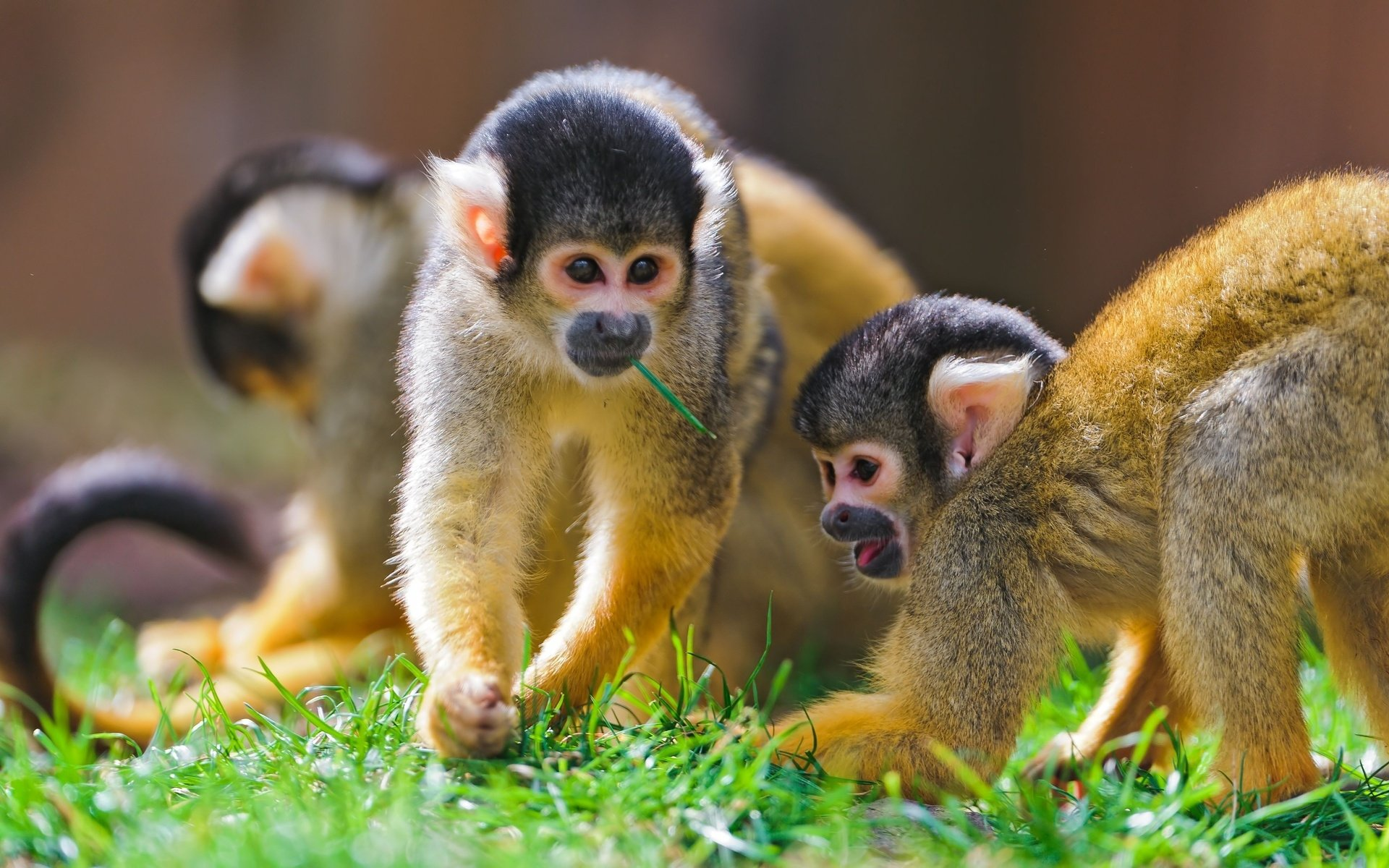 203 monkey hd wallpapers | backgrounds - wallpaper abyss