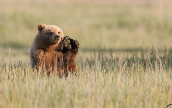 Animal - Bear Wallpapers and Backgrounds ID : 333036