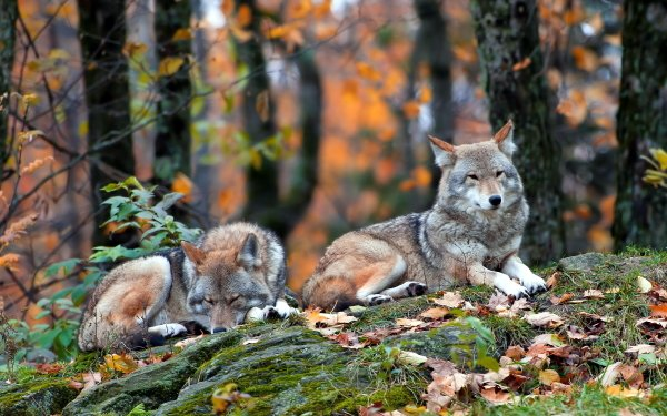 Animal Wolf Resting Forest Fall HD Wallpaper | Background Image