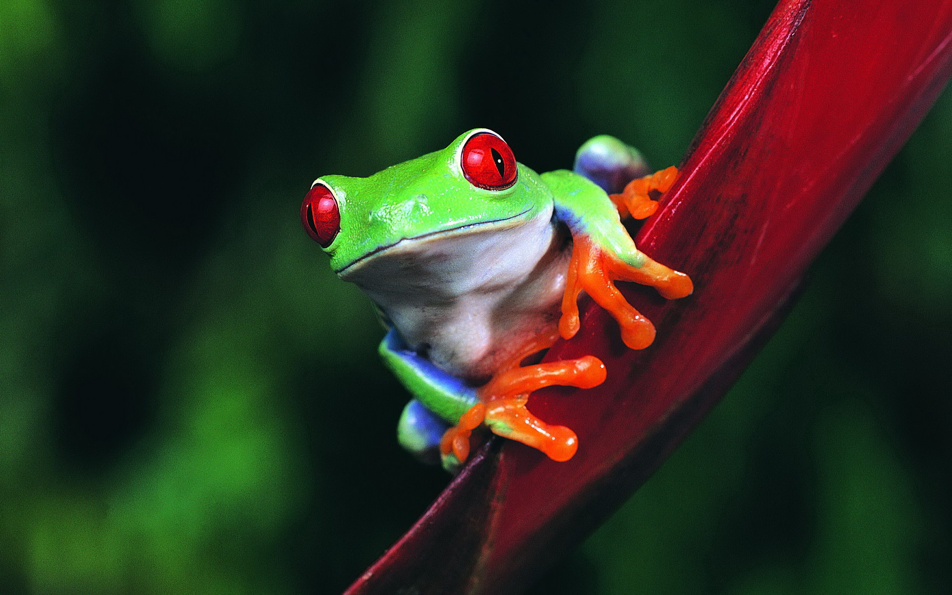 Red Eyed Tree Frog Full HD Wallpaper and Background Image ...