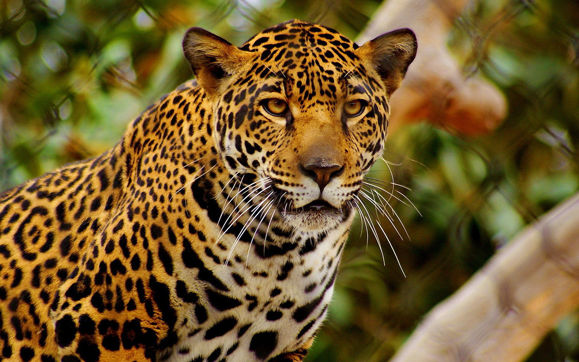 Jaguar hd wallpaper background image 1920x1200 id - Jaguar animal hd wallpapers ...