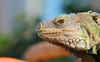 Animal - Lizard Wallpapers and Backgrounds ID : 336447