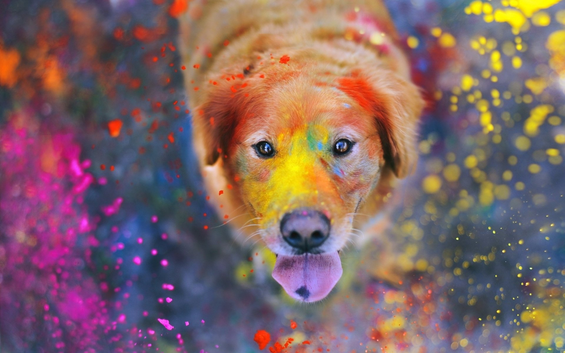 Holiday - Holi  Dog Colors Golden Retriever Wallpaper