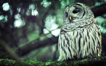 Animal - Owl Wallpapers and Backgrounds ID : 339421