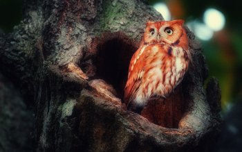 Animal - Owl Wallpapers and Backgrounds ID : 339462