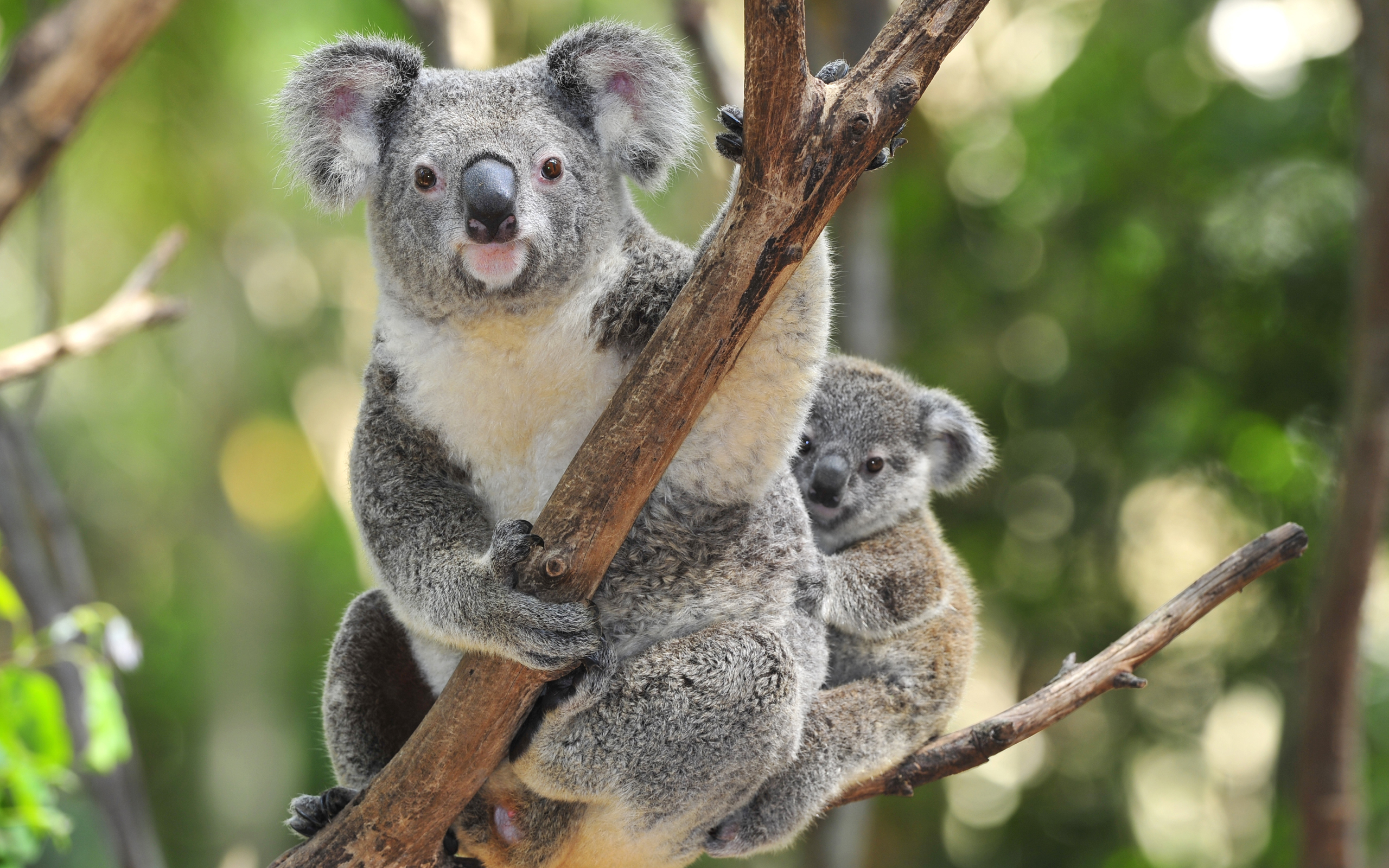 koala computer wallpapers desktop backgrounds 2560x1600