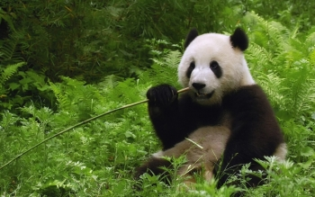 Animal - Panda Wallpapers and Backgrounds ID : 340397