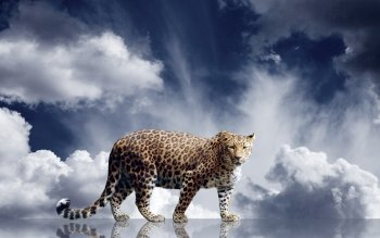 Animalia - Leopard Wallpapers and Backgrounds ID : 340997