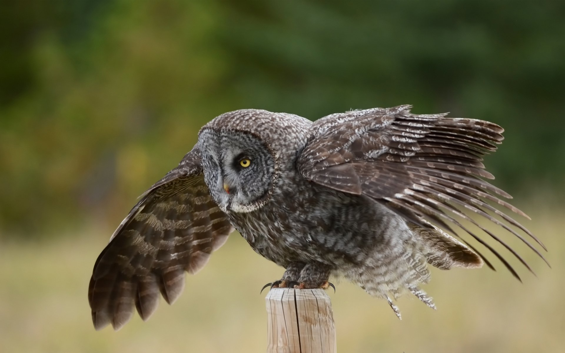 Great Grey Owl Hd Wallpaper Background Image 1920x1200