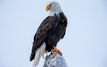 Animal - Eagle Wallpapers and Backgrounds ID : 341380