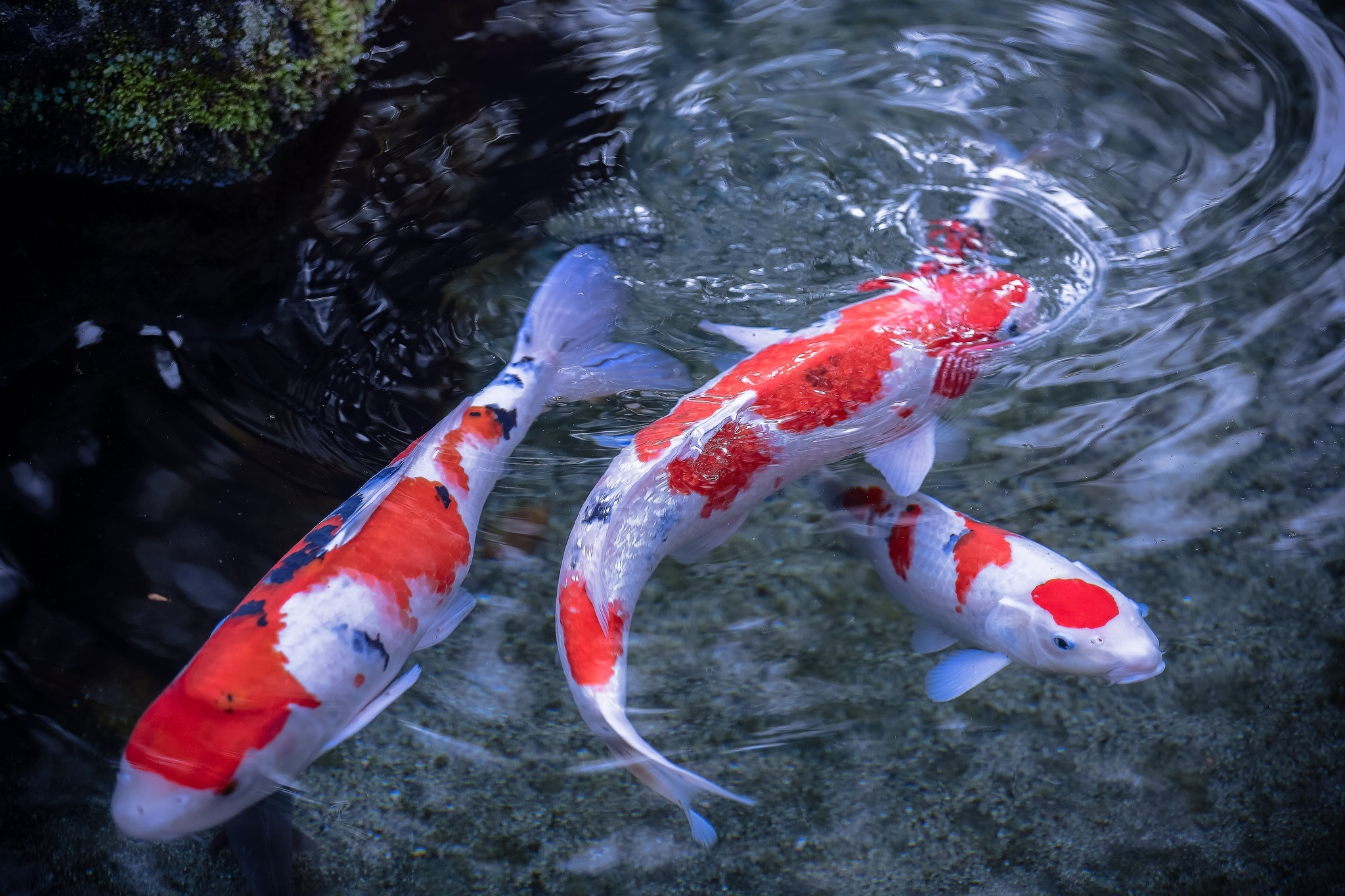 Koi hd wallpaper background image 2048x1365 id - Carp wallpaper iphone ...