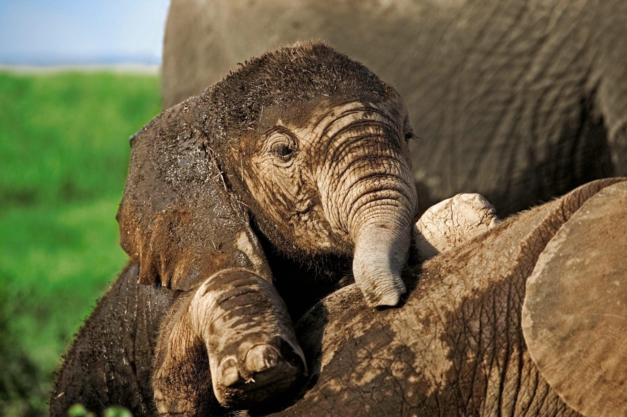 Hd wallpaper elephant - Hd Wallpaper Background Id 342827 2048x1362 Animal Elephant