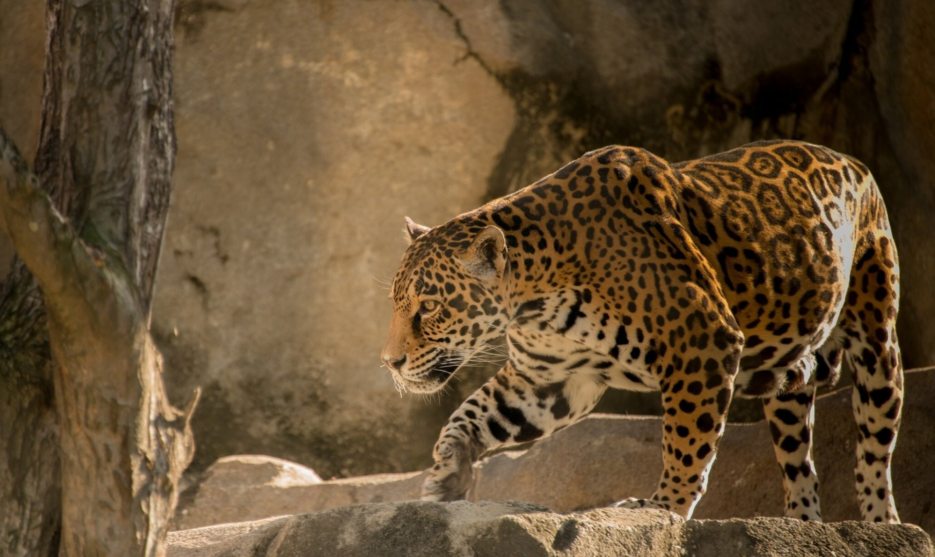Facination full hd wallpaper and background image - Jaguar animal hd wallpapers ...