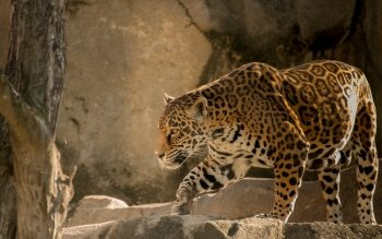 Animalia - Leopard Wallpapers and Backgrounds ID : 342061