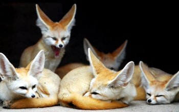 Animal - Fennec Fox Wallpapers and Backgrounds ID : 343479