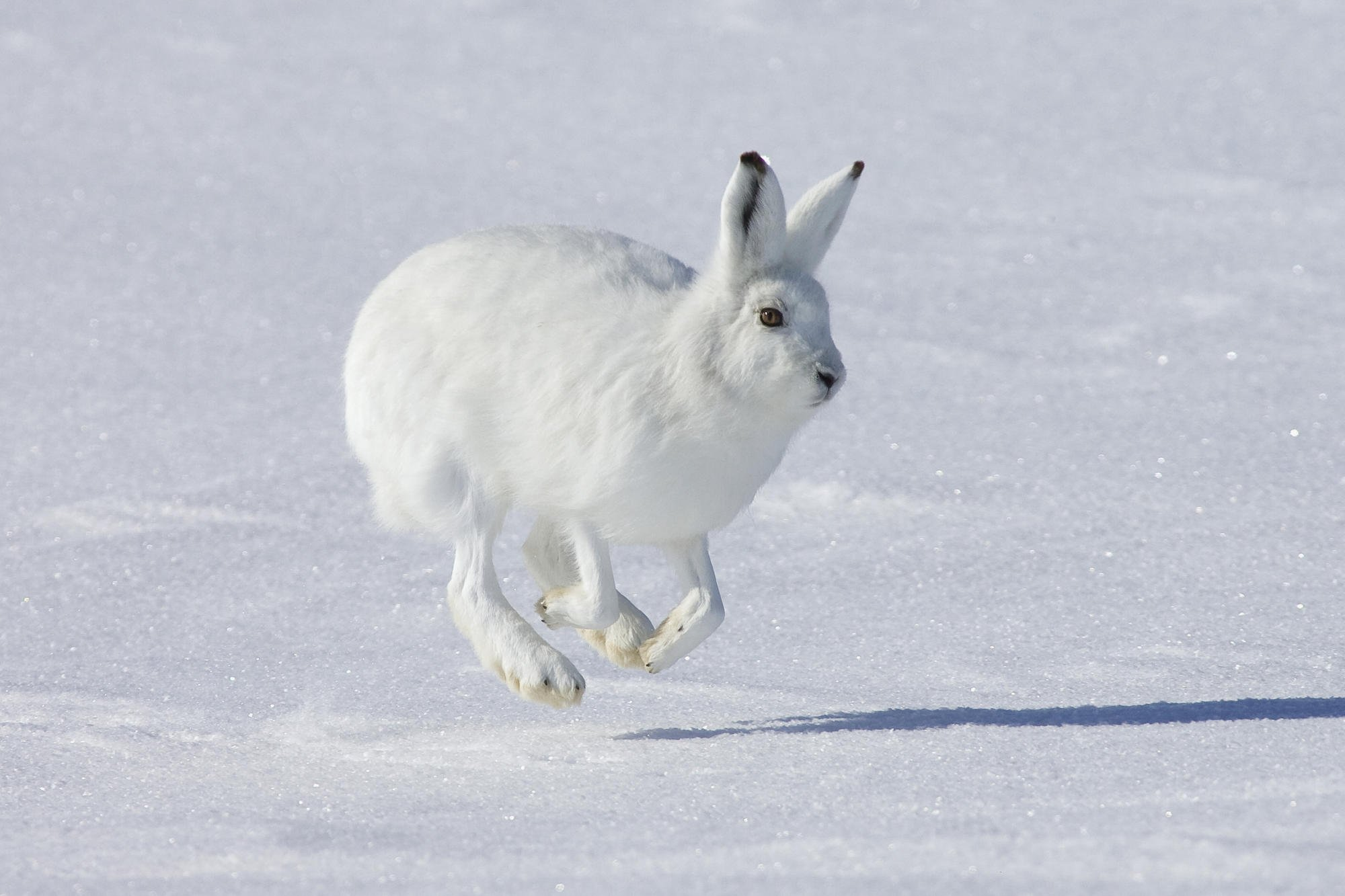 The Arctic hare, also known as Polar Rabbit Full HD ...