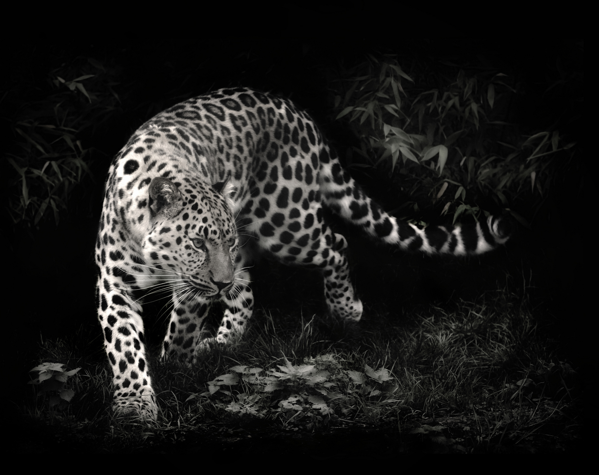 Leopard full hd wallpaper and background image 2048x1626 - Animal black background wallpaper ...