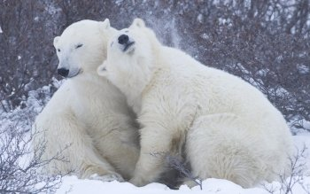 Animalia - Polar Bear Wallpapers and Backgrounds ID : 344793