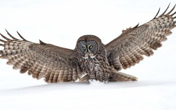 Animal - Owl Wallpapers and Backgrounds ID : 344797