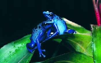 Animal - Frog Wallpapers and Backgrounds ID : 344880