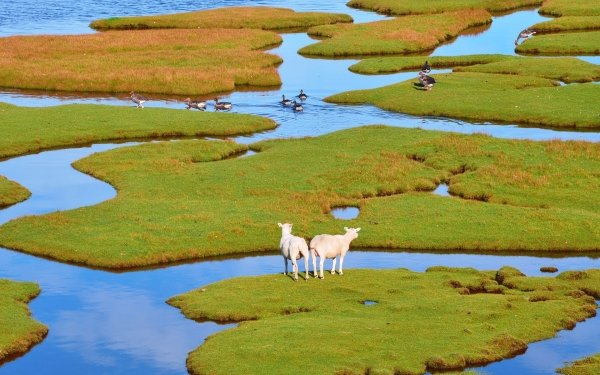 Animal Sheep Bird Duck Water HD Wallpaper | Background Image