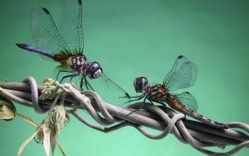 Animal - Dragonfly Wallpapers and Backgrounds ID : 345400